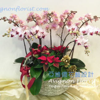 Christmas Orchids |Taiwan