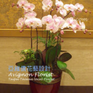 Pink Moth orchids for Taiwan New Year