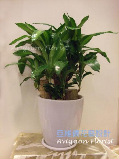 Brazilian Stick Plant   Fortune Tree  Taiwan Nangang
